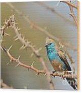 Blue Waxbill - Among The Thorns  Wood Print