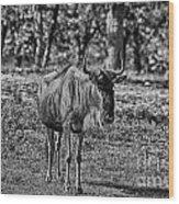 Blue Wildebeest-black And White Wood Print