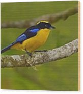 Blue-winged Mountain Tanager Wood Print