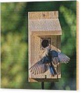 Bluebird At Nest Wood Print