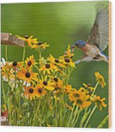 Bluebird Flying Over The Black Eyed Susans Wood Print