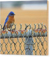 Bluebird On A Fence Wood Print