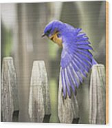 Bluebird On The Fence Wood Print