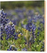 Bluebonnets In Spring Wood Print