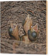 Bluejay Chicks Wood Print