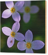 Bluets With Aphid Wood Print