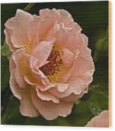 Blush Pink Rose With Dew Wood Print
