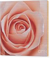Blush Rose Wood Print