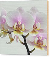 Blushing Orchids Wood Print by Juergen Roth
