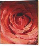 Blushing Orange Rose 3 Wood Print