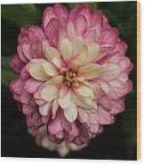 Blushing Zennia Wood Print