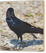 Boat-tailed Grackle Wood Print