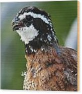 Bob White Quail Wood Print