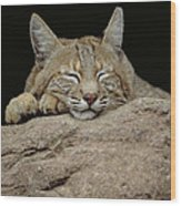 Bobcat, Arizona Wood Print