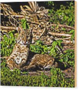 Bobcat At Sunset Wood Print by Mark Andrew Thomas