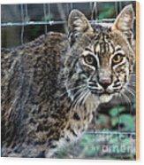 Bobcat Beauty Wood Print