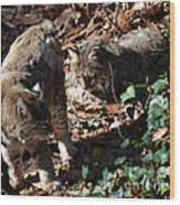 Bobcat Couple Wood Print