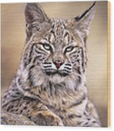Bobcat Cub Portrait Montana Wildlife Wood Print by Dave Welling