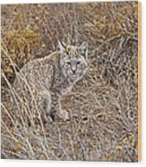 Bobcat In Brush Wood Print