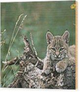 Bobcat Kitten Resting On A Log Idaho Wood Print