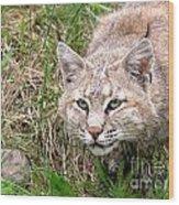 Bobcat Stalking Wood Print by Sylvie Bouchard