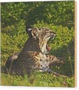 Bobcat Yawn Wood Print