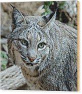 Bobcat's Gaze Wood Print