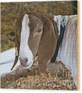 Boer Goat Wood Print