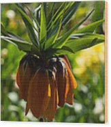 Bold And Showy Orange Crown Imperial Flower  Wood Print