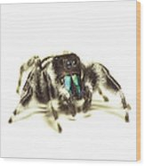 Bold Jumping Spider Wood Print