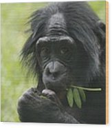 Bonobo Eating Wood Print