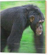 Bonobo Pan Paniscus Knuckle-walking Wood Print