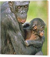 Bonobo Pan Paniscus Mother And Infant Wood Print