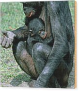 Bonobo Pan Paniscus Nursing Wood Print
