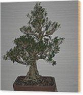 bonsai tree Serissa Foetida live tree art exposed root over rock Wood Print