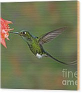 Booted Racket-tail Hummingbird Wood Print