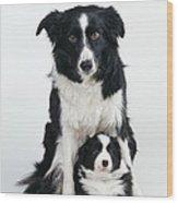Border Collie Dog & Puppy Wood Print