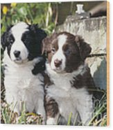 Border Collie Dog, Two Puppies Wood Print