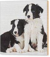 Border Collie Dogs, Two Puppies Wood Print