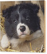 Border Collie Puppy And Wooden Wheel Wood Print