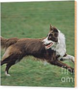Border Collie Running Wood Print