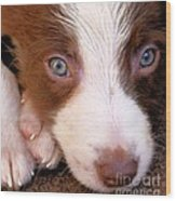 Border Collie Tan And White Pup Wood Print
