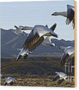 Bosque Del Apache Snow Geese In Flight Wood Print by Bob Christopher