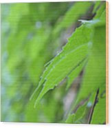 Boston Ivy Bokeh Wood Print