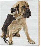 Boston Terrier And Mastiff Wood Print