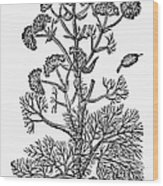 Botany: Giant Fennel, 1597 Wood Print