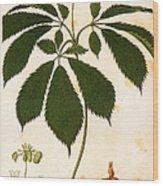 Botany: Ginseng Wood Print