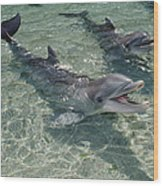 Bottlenose Dolphin In Shallow Lagoon Wood Print