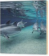 Bottlenose Dolphins In Shallow Water Wood Print