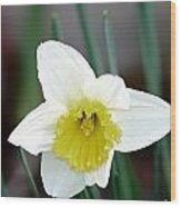 Bowed Daffodil Wood Print